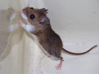 deer mouse 1